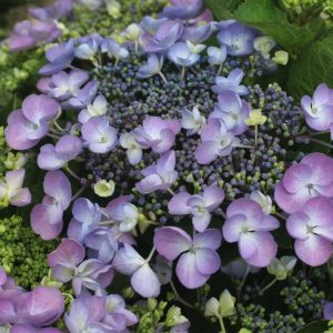 Гортензия крупнолистная Lutin Blue